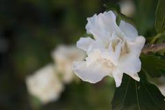 Biel róża w lesie obrazy royalty free