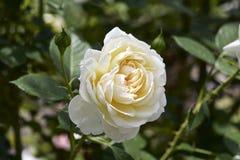 Biel róża w ogródzie Zdjęcie Stock