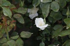 Biel róża w ogródzie w jesieni Obrazy Stock