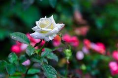 Biel róża w Ogrodowym Fron Tajlandia Obraz Royalty Free