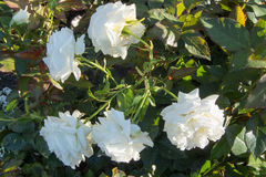 Biel róży grupa Obraz Stock