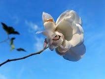 Biel róży kwiat w parku Fotografia Stock