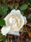 Biel róży kwiat w parku Zdjęcie Stock