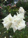 Biel róży kwiaty! Zdjęcie Stock