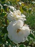 Biel róży kwiaty Fotografia Stock