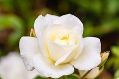 Biel róża z podeszczowymi kroplami Zdjęcia Royalty Free
