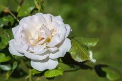 Biel r??y kwitnienie w lato parku Pi?kny kwiat w ?wietle s?onecznym fotografia royalty free