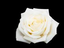 Biel róża na czarnym tle Fotografia Royalty Free
