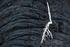 Biel sucha gałąź na lawa sznurka formaci zakończeniu up, El Hierro, wyspy kanaryjska, Hiszpania Obrazy Stock