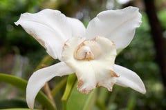 Biel Uszkadzająca orchidea Obraz Stock