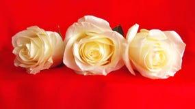 Biel w czerwieni Obraz Royalty Free