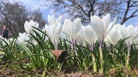Biel wiosny krokusa czuli delikatni pastelowi kwiaty zamknięci w górę słonecznego dnia w miasto parku w, unrecognizable ludzie ch zbiory wideo