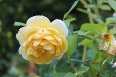Biel z żółtym kolor róż tłem Obrazy Stock