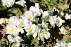Biel z koloru żółtego centrum bicolor Dzikim pansy lub altówka tricolor małymi dzikimi kwiatami z jaskrawymi płatkami gęsto zasad zdjęcia royalty free