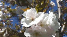 Biel z różowymi kwiatami aple kwitnie Fotografia Royalty Free