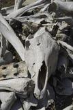 Bielić kości w słońcu Zdjęcia Stock