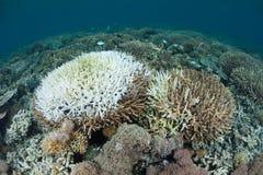 Bielić korale w Tropikalnym Pacyfik Zdjęcia Royalty Free