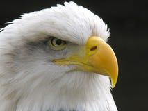 bielik amerykański Zdjęcie Stock