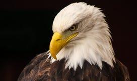 bielik amerykański Zdjęcie Royalty Free