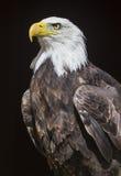 bielik amerykański Zdjęcia Royalty Free