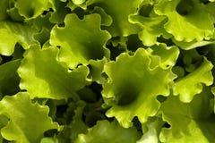 bielizna zieloną sałatkę zdjęcia stock