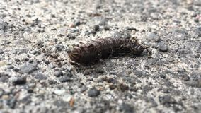 Bielorrusia, jardín negro Ant Ants Or Lasius Niger que ataca Caterpillar metrajes