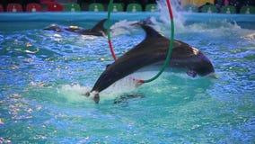 BIELORRUSIA, MINSK - 2014: Demostración de los delfínes en el dolphinarium Cámara lenta