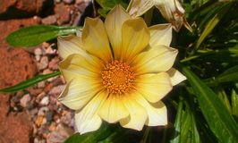 Bielu centrum kwiatu strzał z drobnymi żółtymi brzmieniami obraz stock