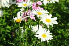 Bielu chamomile ogrodowy zbliżenie Zdjęcie Stock