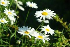 Bielu chamomile ogrodowy zbliżenie Zdjęcia Stock