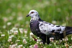 Bielu Columba popielaty łaciasty gołębi odprowadzenie w koniczyny polu z zieloną trawą Zdjęcia Royalty Free