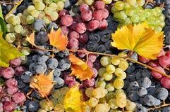 Bielu, czerwonego i czarnego wina winogrono, Obrazy Royalty Free