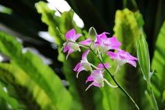Bielu Dendrobium phalaenopsis hybrydu Różowa orchidea Zdjęcie Stock