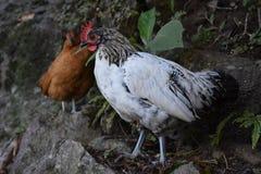 Bielu i czerni pasma kurczaka Bezpłatny Wędrować obrazy stock