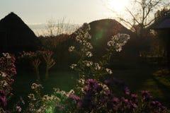 Bielu i fiołka kwiaty w ogródzie z słońcem migoczą Fotografia Royalty Free