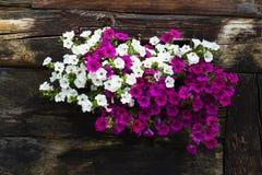 Bielu i fiołka kwiaty zakrywa okno drewniana beli kabina zdjęcie stock