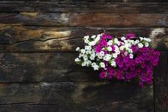 Bielu i fiołka kwiaty zakrywa okno drewniana beli kabina zdjęcia stock