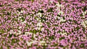 Bielu i menchii kwiaty Obrazy Royalty Free