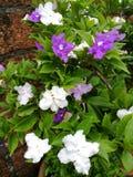 Bielu i purpur kwiatów kwitnąć Obrazy Stock
