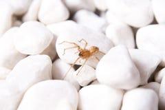 Bielu kamień z brown pająkiem Obraz Stock