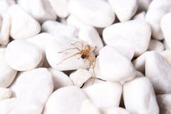 Bielu kamień z brown pająkiem Obrazy Royalty Free