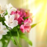Bielu, menchii i purpur leluja, kwitnie na zamazanym tła zbliżeniu, miękki ostrość leluj kwiatu przygotowania obrazy royalty free