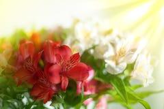 Bielu, menchii i purpur leluja, kwitnie na zamazanym tła zbliżeniu, miękki ostrość leluj kwiatu przygotowania fotografia royalty free