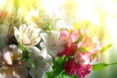 Bielu, menchii i purpur leluja, kwitnie na zamazanym tła zbliżeniu, miękki ostrość leluj kwiatu przygotowania zdjęcia royalty free