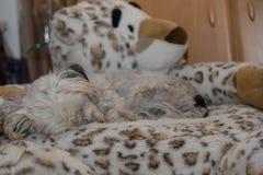 Bielu pies śpi na faszerującym zwierzęciu Obraz Royalty Free