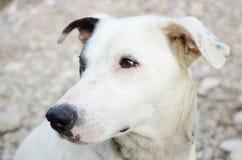 Bielu pies Zdjęcie Stock