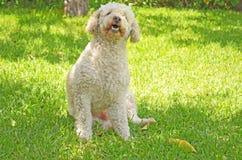 Bielu pies Zdjęcie Royalty Free