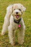 Bielu pies Zdjęcia Royalty Free