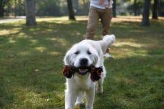 Bielu pies Obrazy Stock