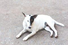 Bielu pies Zdjęcia Stock